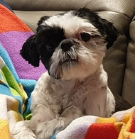 """""""Our shih tzu Coco is 3 years old and has a lot of character. Advices and tricks of Mrs. Magda helped us understand the dog and our mistakes in her upbringing. We recommend 100%"""" Renata B."""
