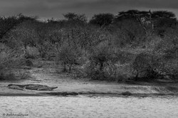 Crocodile at the edge of river
