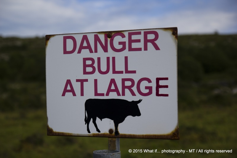 Danger bull at large, Clare (Ireland)