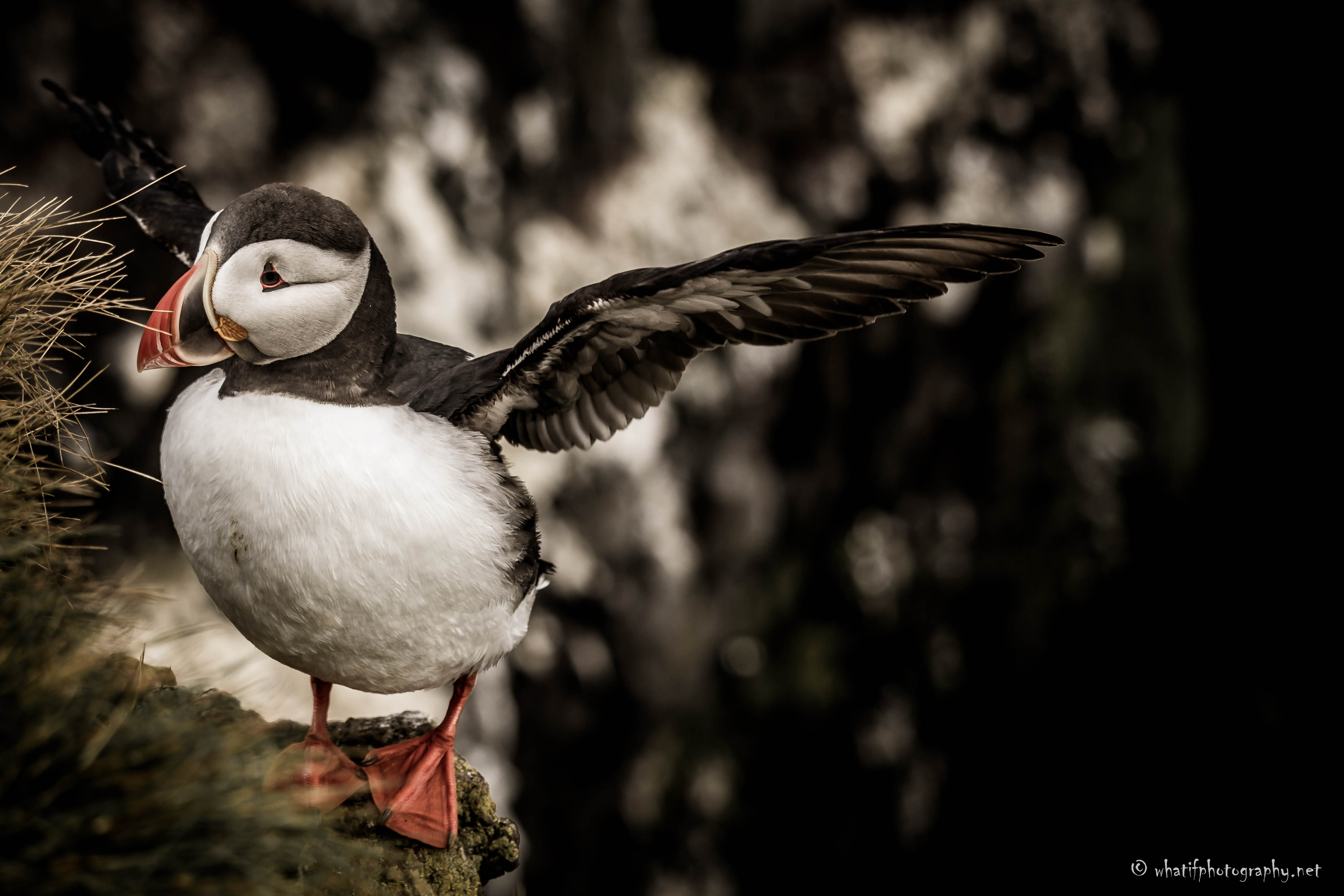 Puffin arriving at Latrabjarg Cliffs, Ic