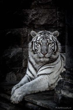 White tiger at ease
