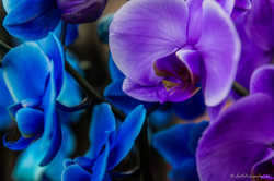 Blue and purple orchidees