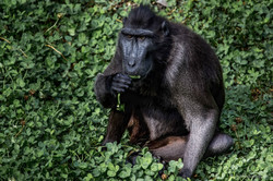 Black Macaque eating on a green carpet