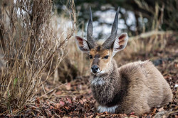 Beauty of Bushbuck