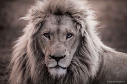 Portrait of lion