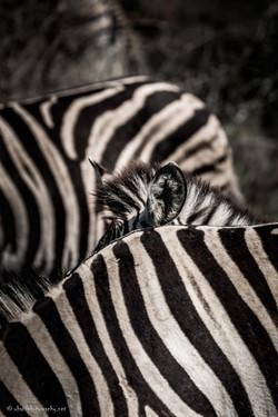 Striped ear