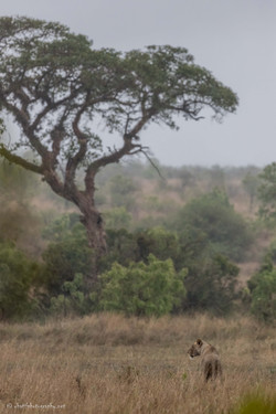 Lioness in the mist