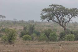 Lion's territory