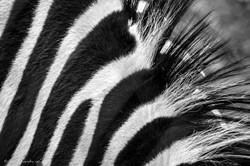 Punker zebra