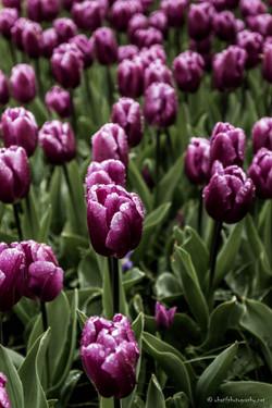 Follow the violet