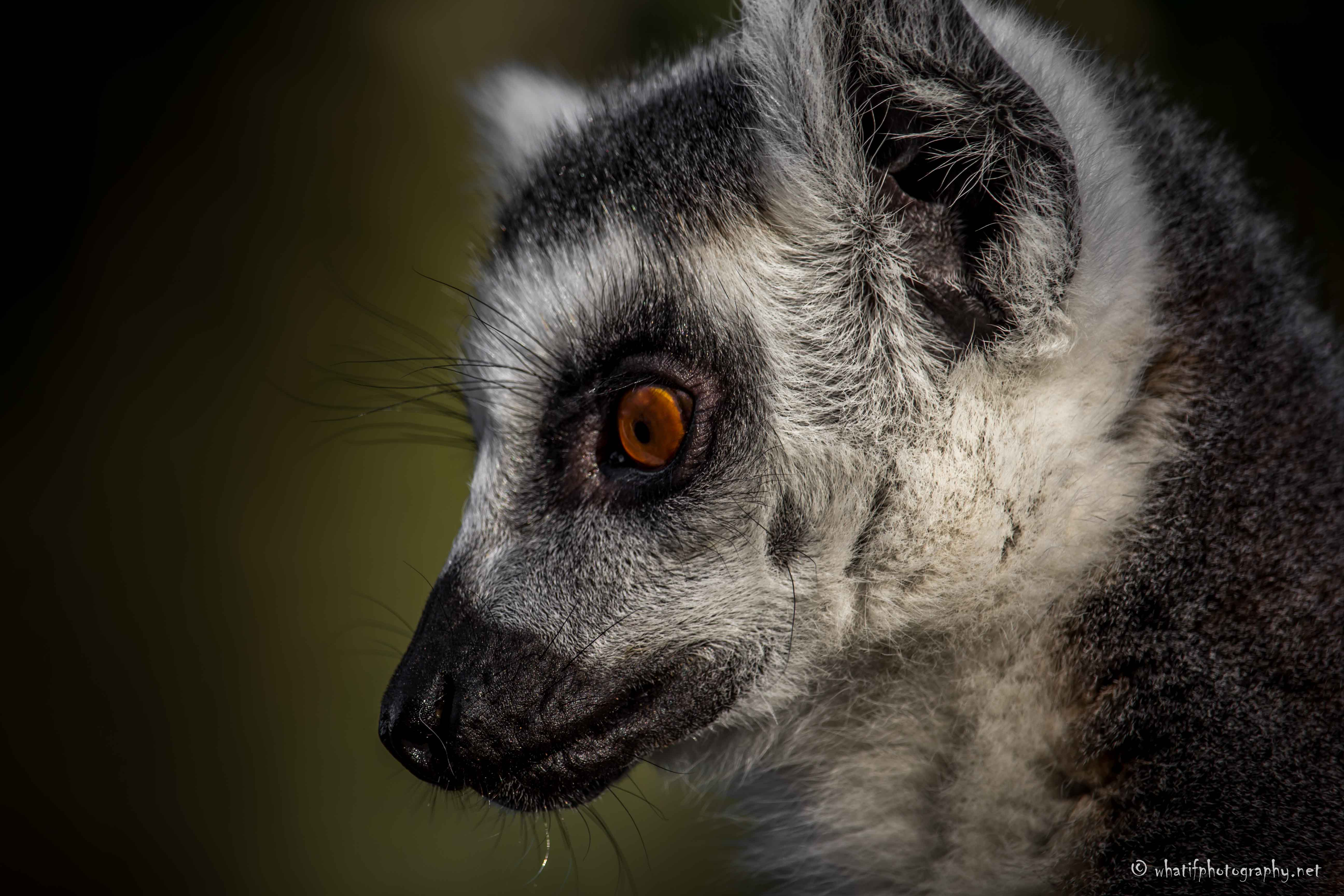 Focused lemur