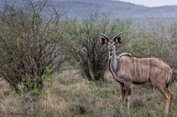 Portrait of a young male Kudu