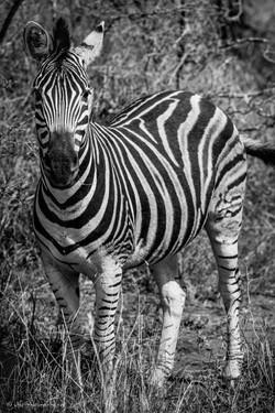 This is me - Burchell's Zebra
