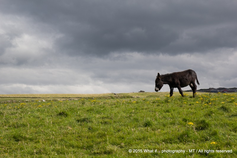 Grazing donkey in the Irish field, Doolin (Ireland)