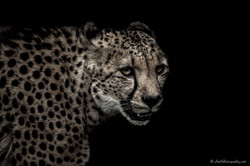 Deadly look of cheetah
