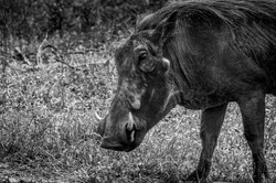 Close - up of warthog