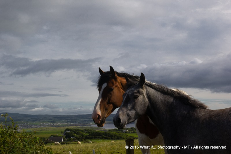 Horses of Lahinch (Ireland)