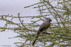 Grey Go - away bird