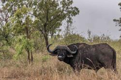 Lonely buffalo