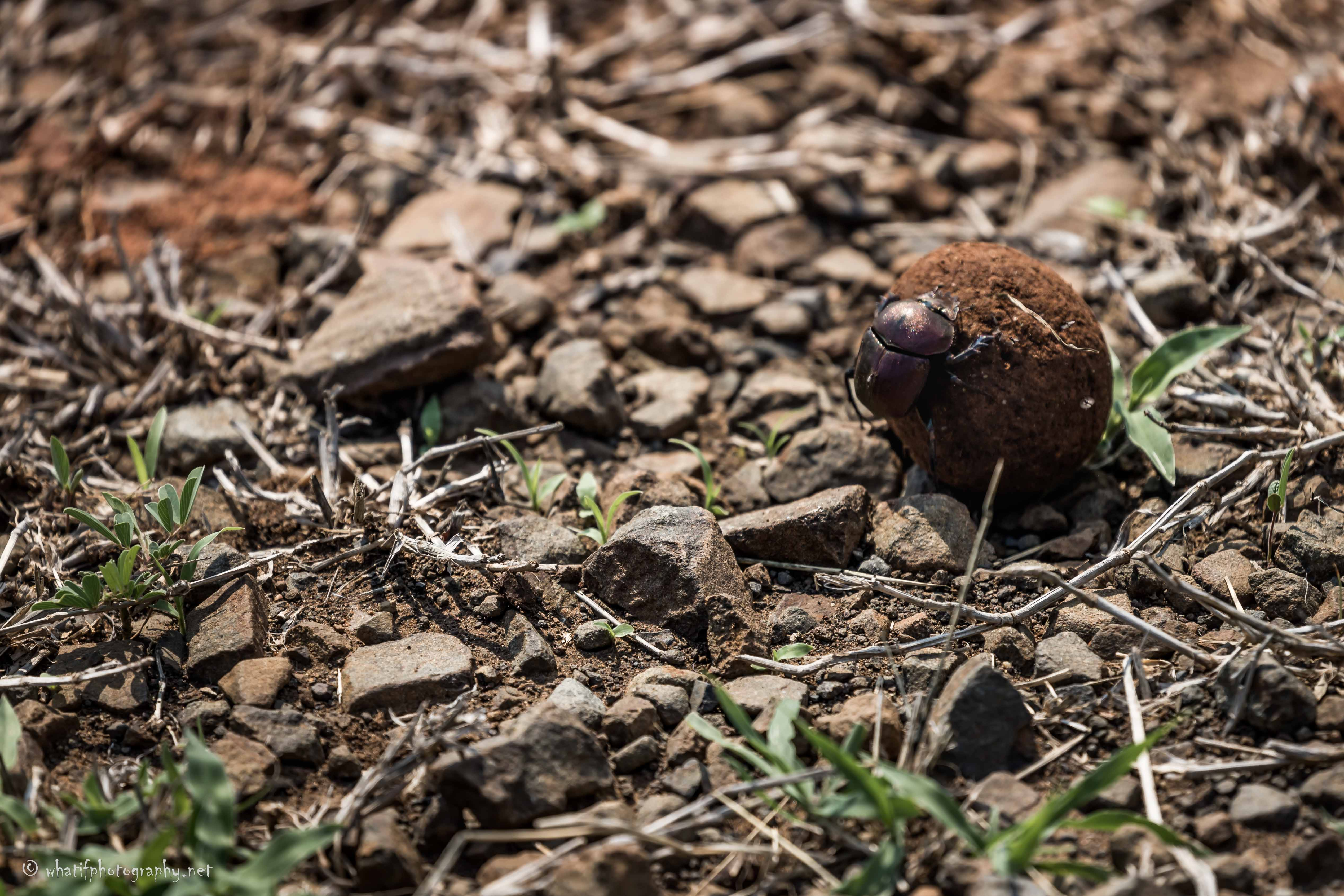 Dung Beetle Rolling Massive Dung Ball