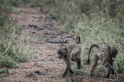 Little baboons