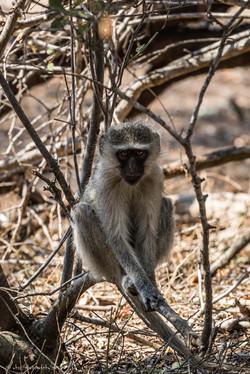 Portrait of vervet monkey