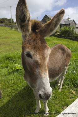 Interested donkey, Clare (Ireland)