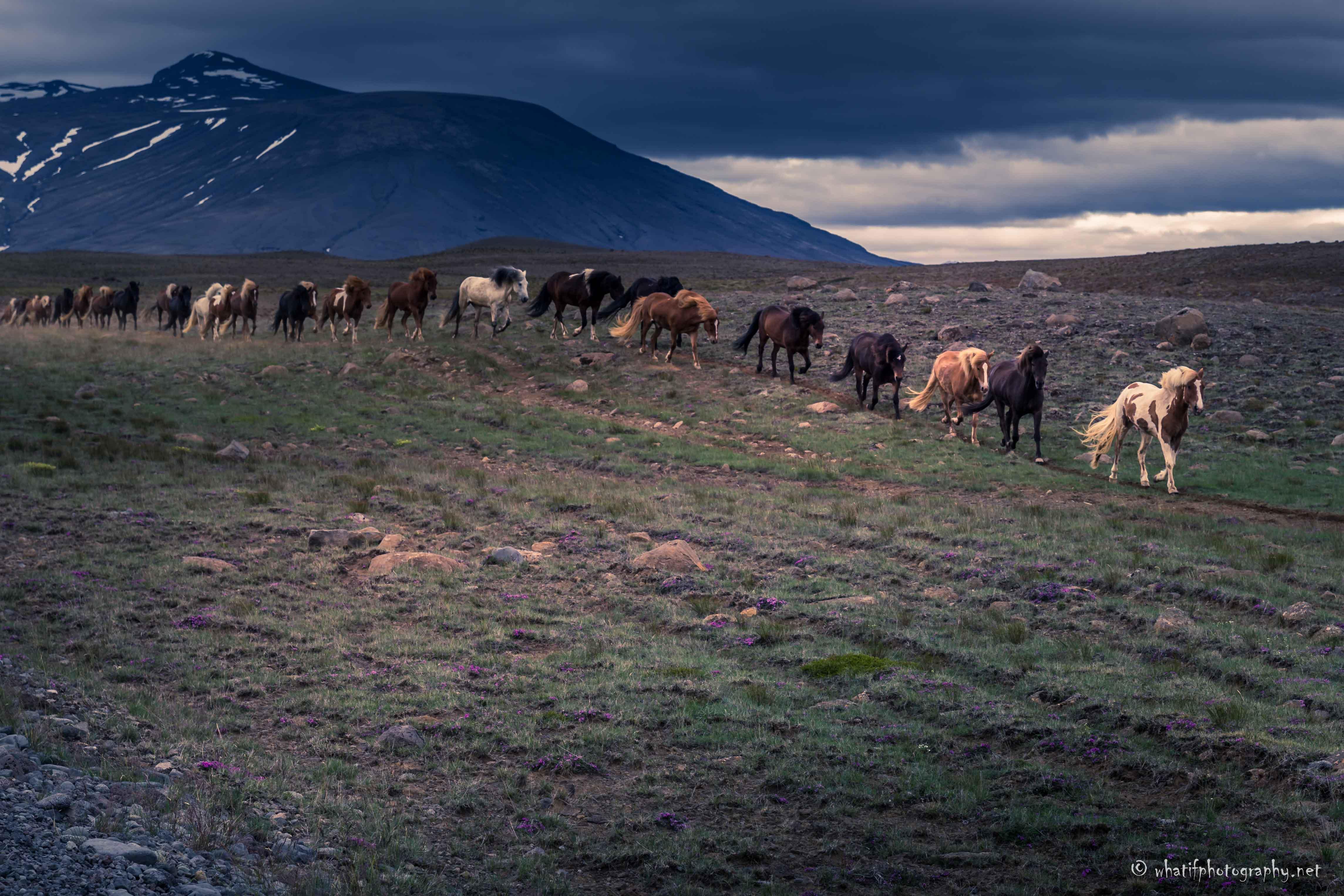 Wild horse parade