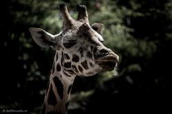 Giraffe on watch