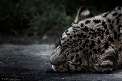 Snoozing snow leopard