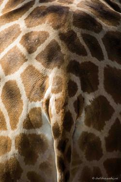 Ass of giraffe