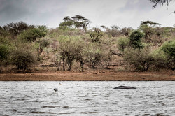 Grey Heron floating on a Hippo