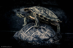 King of the turtle