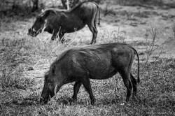 2x Warthog