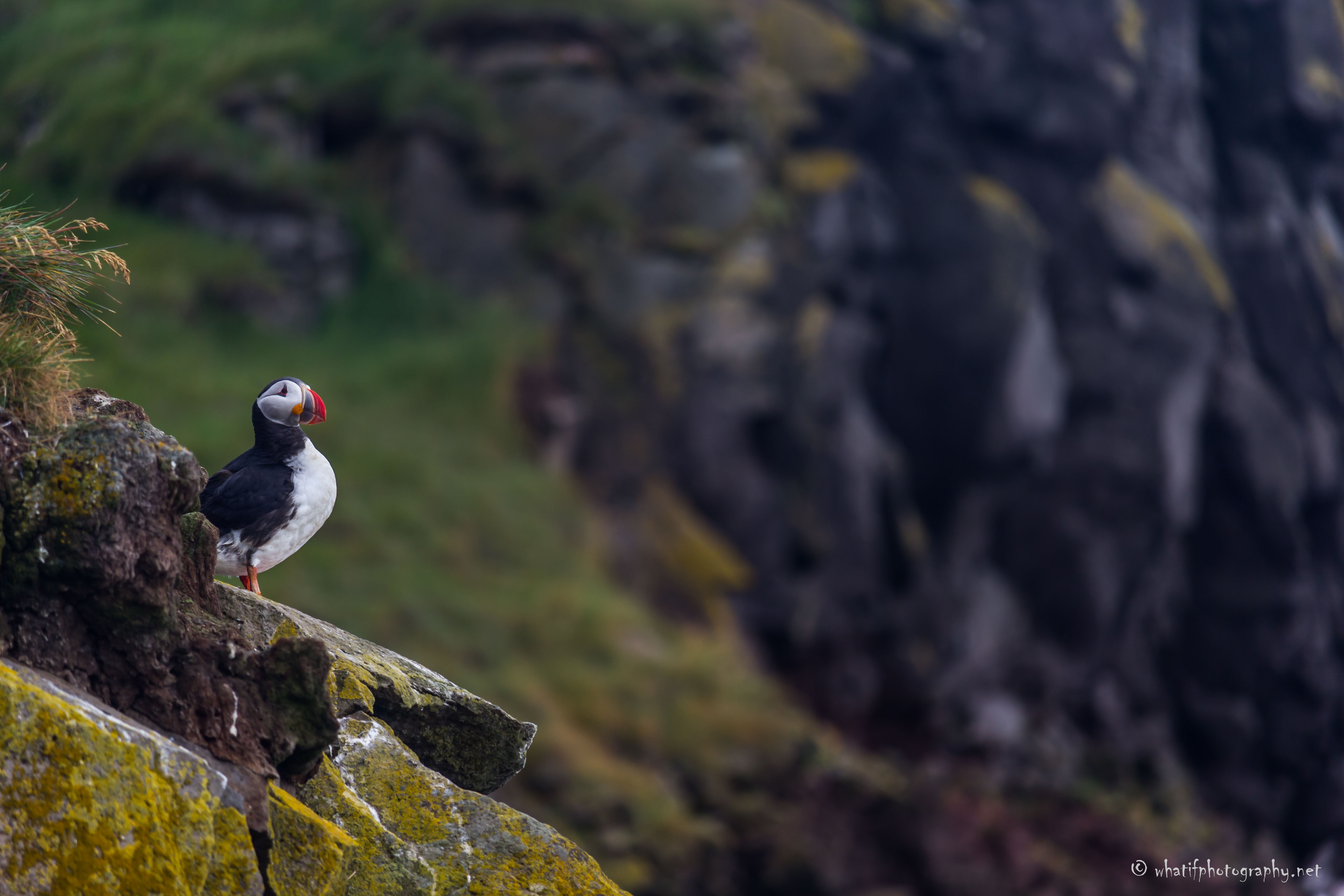Puffin in the edge of the world