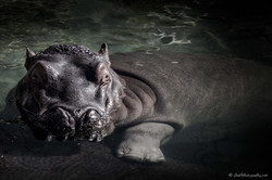 Hippo taking a look