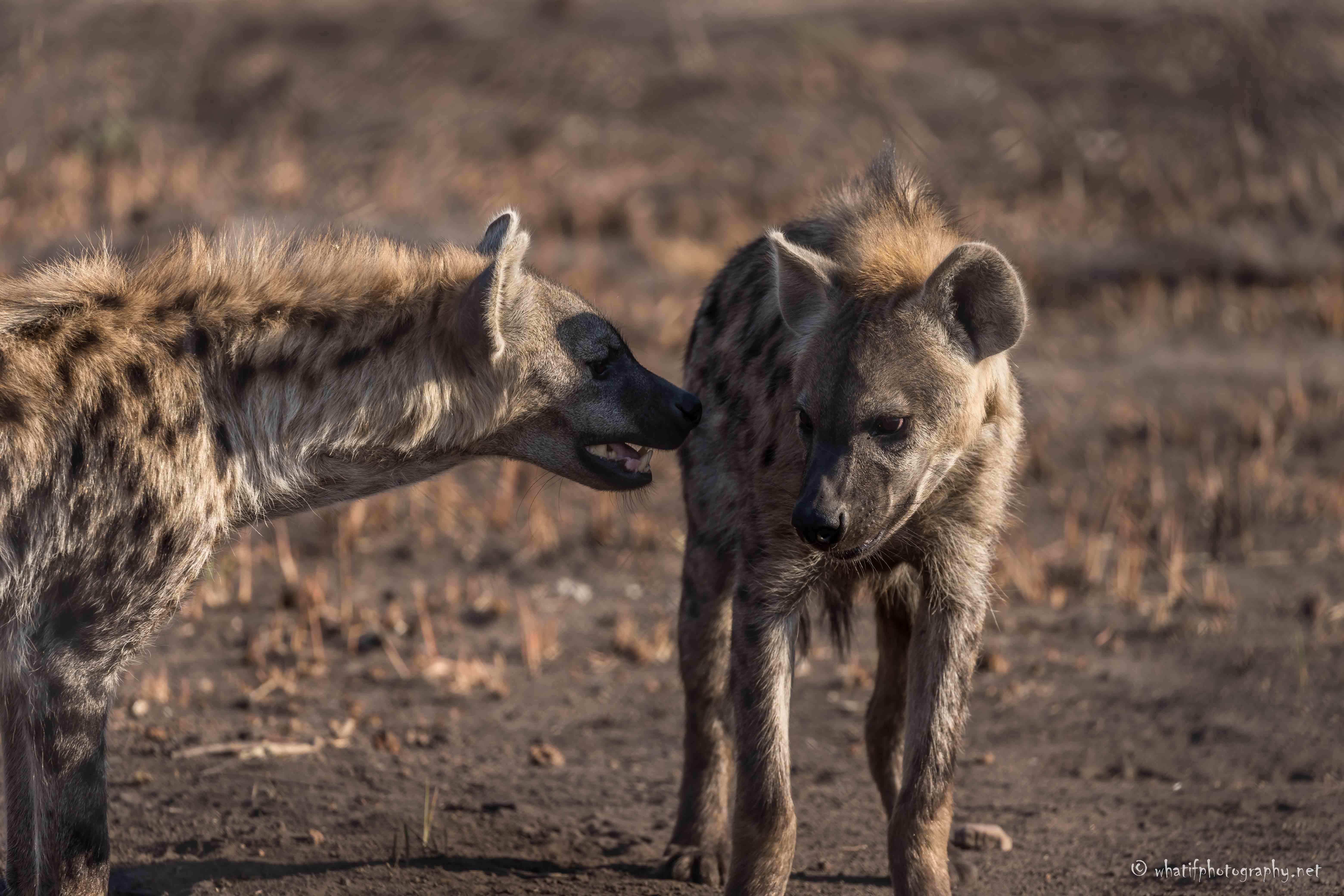 2 spotted hyenas