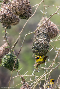 Busy Southern Masked-Weaver
