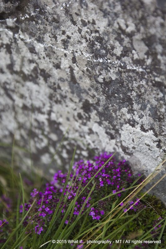 Irish purple wild flowers, Burren area (Ireland)