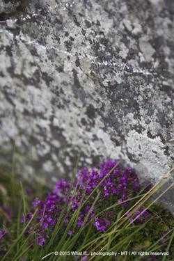 Irish purple wild flowers, Burren area (Ireland)