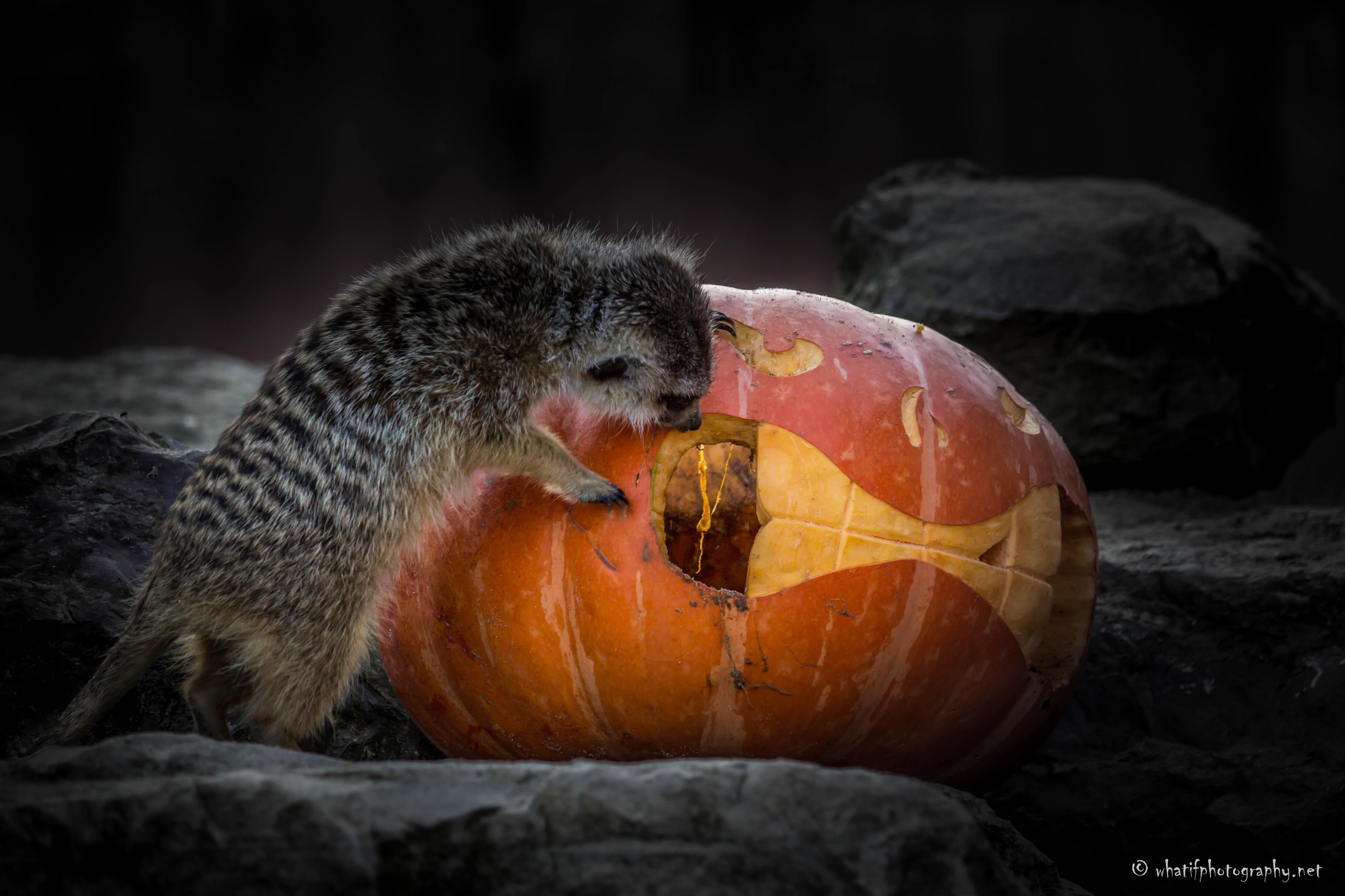 Halloween merkat