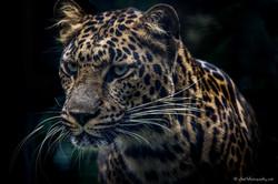 Dangerous look of leopard