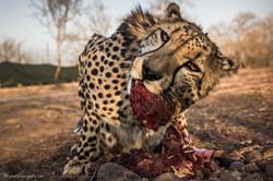 Eye to eye with a cheetah