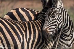 Zebra's hug