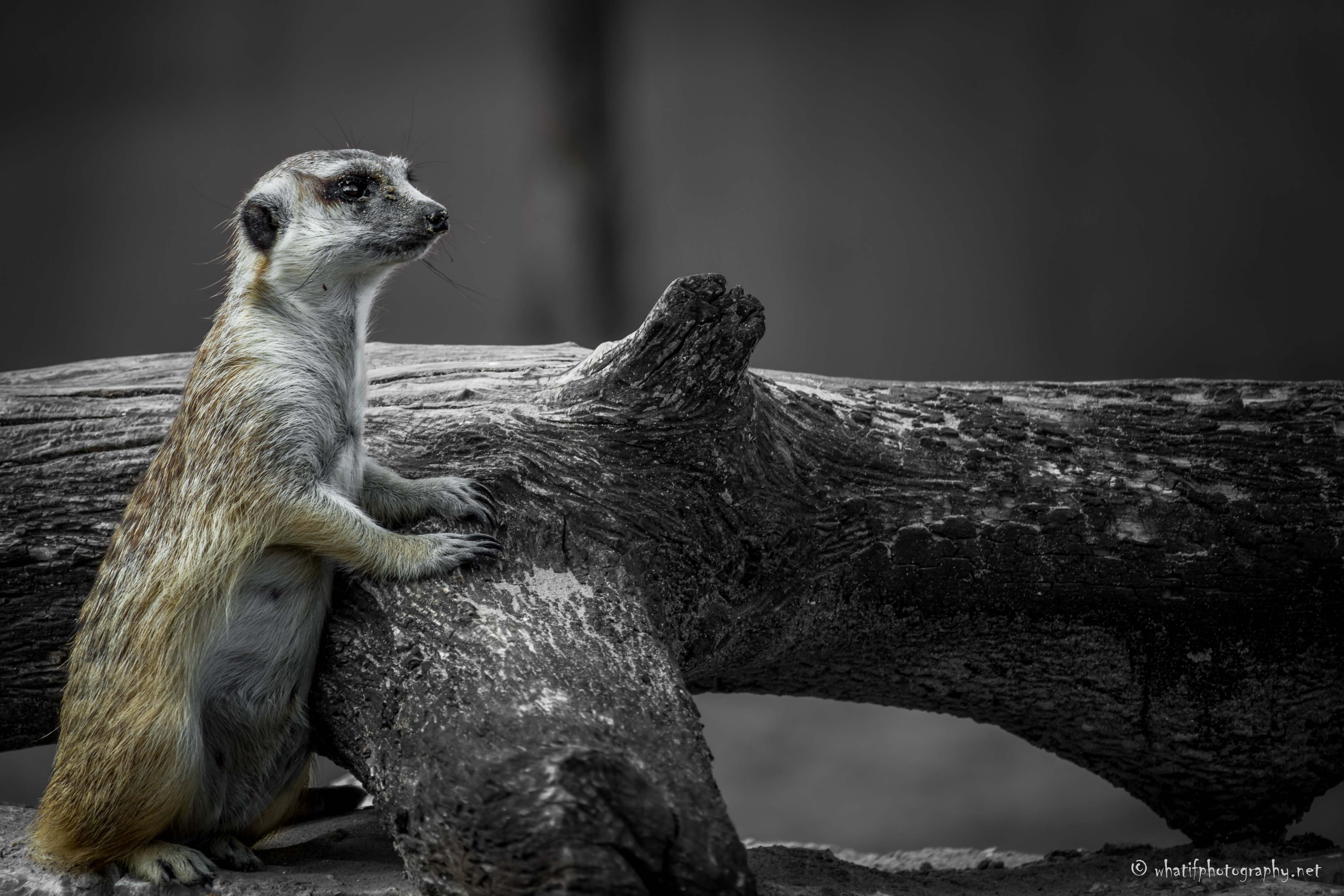 Meerkat on the watch