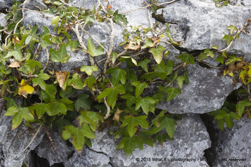 Ivy (Hedera helix) between limestone rocks, Clare (Ireland)
