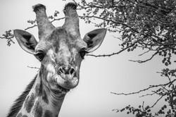 Giraffe's look