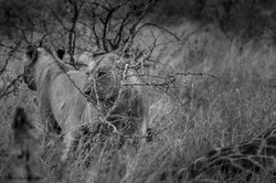 2 lionesses checking the territory