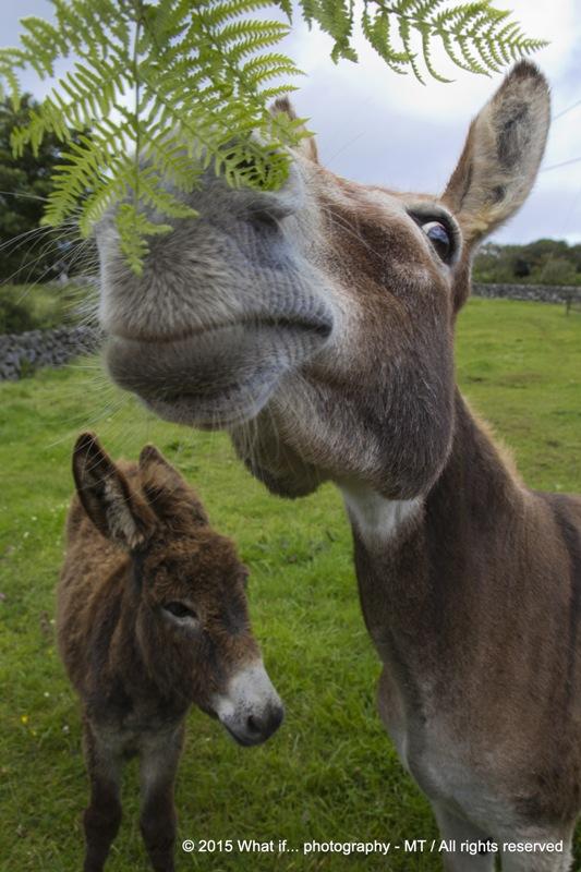 Donkeys sniffing fresh leafs, Clare (Ireland)