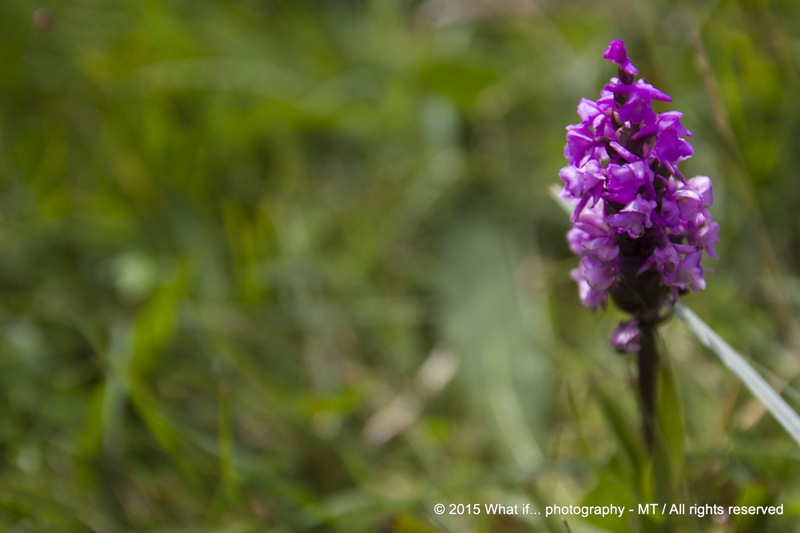 Irish Wild Marsh Orchids, Clare (Ireland)